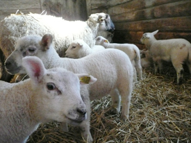 Kullens_sheep_farm